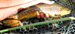 Duncans fish of the day, a nice Brown.