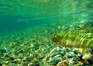 This fish was caught in the new catch and keep portion of the Methow yesterday.  Should I have kept it?